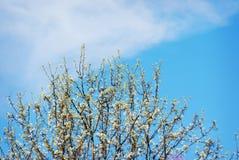 Vita vårblomningar mot en blå himmel med vita moln Fotografering för Bildbyråer