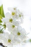 Vita vårkörsbärblommor Fotografering för Bildbyråer