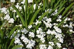 Vita vårträdgårdblommor, arabisalpina Royaltyfri Fotografi