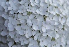 Vita vanlig hortensiablommor på en sommardag royaltyfria foton