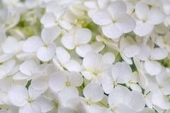 Vita vanlig hortensiapaniculatablomningar Royaltyfri Bild