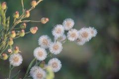 vita Vernonia cinerea blomma och knoppar Arkivfoto