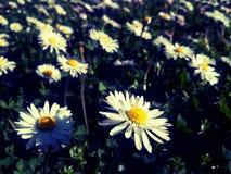 vita vildblommar Royaltyfria Bilder
