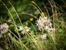 Vita vildblommor i den Shenandoah nationalparken Arkivfoton