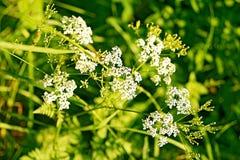 Vita vildblommor och grönt gräs Arkivbilder