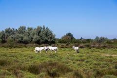 Vita vildhästar av Camargue, Frankrike arkivbilder