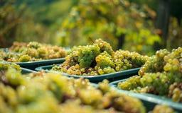 Vita vinrankadruvor Detaljerad sikt av vinrankor för en druva i en vingård i höst royaltyfri bild
