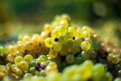 Vita vinrankadruvor Detaljerad sikt av vinrankor för en druva i en vingård i höst arkivfoto