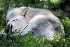 Vita Wolf Sleeping i skuggan Arkivbilder