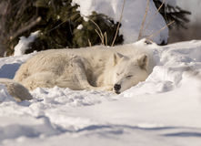 Vita Wolf Sleeping i snö arkivbilder