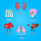 Vital Anatomical Organs Cartoon Characters uppsättningsamling royaltyfri illustrationer