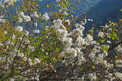Vitalba Clematis, η παλαιά γενειάδα ` ατόμων ` s ` ή ταξιδιωτική ` s χαρά `, οικογένεια Ranunculaceae ` Στοκ φωτογραφίες με δικαίωμα ελεύθερης χρήσης