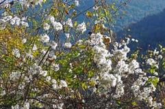 Vitalba Clematis, η παλαιά γενειάδα ` ατόμων ` s ` ή ταξιδιωτική ` s χαρά `, οικογένεια Ranunculaceae ` Στοκ φωτογραφία με δικαίωμα ελεύθερης χρήσης