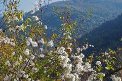 Vitalba Clematis, η παλαιά γενειάδα ` ατόμων ` s ` ή ταξιδιωτική ` s χαρά `, οικογένεια Ranunculaceae ` Στοκ Εικόνα