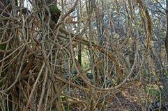Vitalba Clematis, η παλαιά γενειάδα ` ατόμων ` s ` ή ταξιδιωτική ` s χαρά `, οικογένεια Ranunculaceae ` Στοκ Φωτογραφία