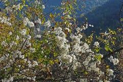 Vitalba Clematis, η παλαιά γενειάδα ` ατόμων ` s ` ή ταξιδιωτική ` s χαρά `, οικογένεια Ranunculaceae ` Στοκ Φωτογραφίες
