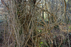 Vitalba Clematis, η παλαιά γενειάδα ` ατόμων ` s ` ή ταξιδιωτική ` s χαρά `, οικογένεια Ranunculaceae ` Στοκ Εικόνες