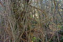 Vitalba Clematis, η παλαιά γενειάδα ` ατόμων ` s ` ή ταξιδιωτική ` s χαρά `, οικογένεια Ranunculaceae ` Στοκ εικόνα με δικαίωμα ελεύθερης χρήσης