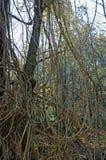 Vitalba Clematis, η παλαιά γενειάδα ` ατόμων ` s ` ή ταξιδιωτική ` s χαρά `, οικογένεια Ranunculaceae ` Στοκ εικόνες με δικαίωμα ελεύθερης χρήσης