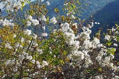 Vitalba da clematite, o ` da alegria do ` s do ` da barba do ` s do ancião do ` ou do viajante do `, Ranunculaceae da família Foto de Stock Royalty Free