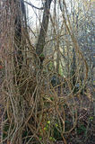 Vitalba da clematite, o ` da alegria do ` s do ` da barba do ` s do ancião do ` ou do viajante do `, Ranunculaceae da família Imagem de Stock