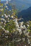 Vitalba da clematite, o ` da alegria do ` s do ` da barba do ` s do ancião do ` ou do viajante do `, Ranunculaceae da família Imagens de Stock Royalty Free
