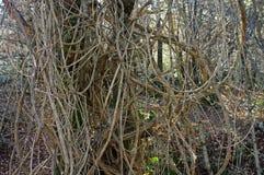 Vitalba da clematite, o ` da alegria do ` s do ` da barba do ` s do ancião do ` ou do viajante do `, Ranunculaceae da família Foto de Stock
