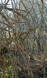 Vitalba da clematite, o ` da alegria do ` s do ` da barba do ` s do ancião do ` ou do viajante do `, Ranunculaceae da família Fotografia de Stock