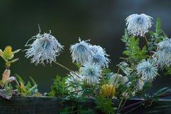 Vitalba floreciente de la clemátide del otoño Foto de archivo libre de regalías