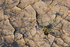 Vitality. Young plants in the dry cracked desert Royalty Free Stock Photo
