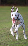 Dog Running. Happy Dalmatian puppy dog running across the grass full of energy and vitality Royalty Free Stock Images