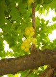 Vitamin C, nytt krusbär. Arkivbild