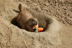 Vitamin.   Prairie dog and carrot. Stock Photography