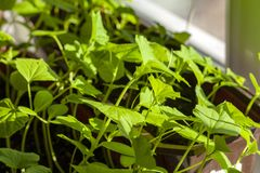 Vitamine zu Hause gewachsen auf dem Fensterbrett lizenzfreies stockfoto