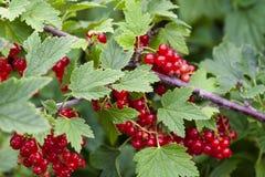 Vitaminer som är fullvuxna i trädgården royaltyfri fotografi