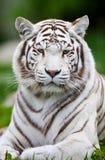 VitBengal tiger Arkivbilder