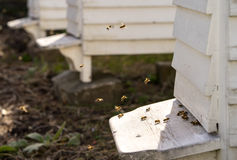 Vitbikupor och massor av bin Arkivfoto