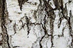 Vitbjörken texturerar royaltyfri foto