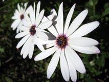 Vitblomma Royaltyfria Bilder