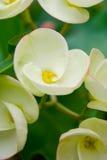 Vitblommor för Poi Sian. Royaltyfri Fotografi