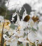Vitbokväxter Arkivbilder