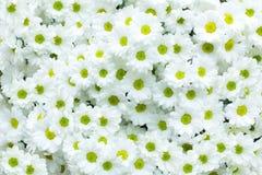 VitChrysanthemum Arkivfoto