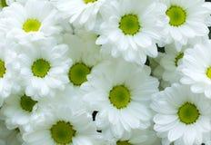 VitChrysanthemumblomma Arkivbilder
