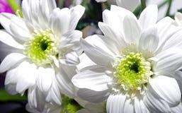 VitChrysanthemumblommor Royaltyfri Bild