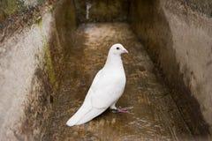 Vitduva, duva, symbol av fred och frihet Arkivbild