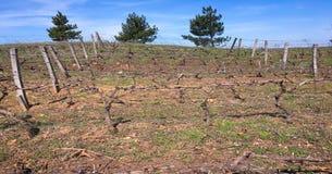 Vite alla vigna nell'ambito del tramonto idilliaco Paesaggio del raccolto della vigna Fotografia Stock