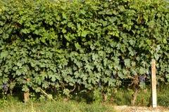 Vite con l'uva Fotografia Stock