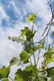 Vite con la giovane uva Immagini Stock Libere da Diritti