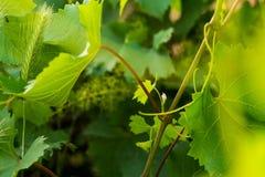 Vite con le foglie ed i germogli dei giovani che fioriscono su una vite nella vigna Germogliare dei germogli della primavera Immagine Stock Libera da Diritti