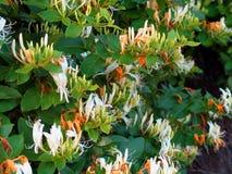 Vite del caprifoglio in fioritura in primavera - primo piano delle fioriture bianche ed arancio fra le foglie verdi fotografia stock libera da diritti